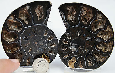"RARE 1 in 100 BLACK PAIR Ammonite Crystal LARGE 76mm Dinosaur FOSSIL 3.0"" n2074"