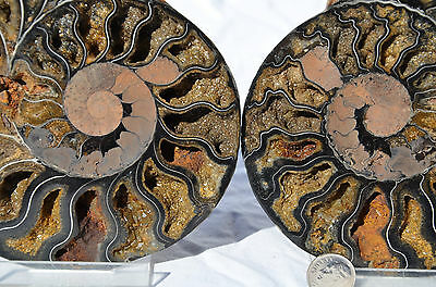 "RARE 1in100 BLACK Ammonite Cut Split PAIR Deep Crystals XXLARGE 6.3"" 159mm n2732"
