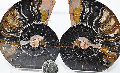 "RARE 1 in 100 BLACK PAIR Ammonite Crystal LARGE 83mm Dinosaur FOSSIL 3.2"" n2119"
