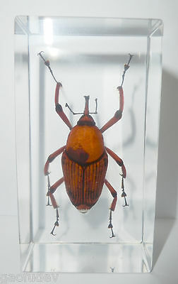 Bamboo Snout Beetle Cyrtotrachelus longimanus Clear Education Insect Specimen