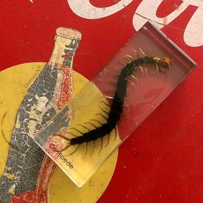 Real Insect Paperweight - Centipede