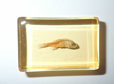 Red Zebra Fish in Amber Clear small Paperweight Education Specimen