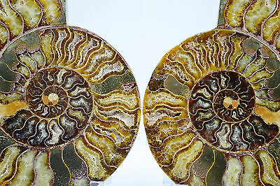 "Pair Ammonite MultiColor Crystals Dinosaur Fossil XXLARGE 7.5"" 110 myo e2910xx"