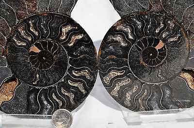 7828 PAIR Ammonite Great Color Crystal Cavities LARGE 110myo FOSSIL 144mm 5.7""
