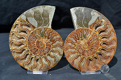 "Ammonite PAIR 110myo Dinosaur age Fossil 134mm Crystals LARGE 5.3"" 110myo e2886x"