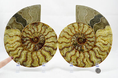 "Fossil PAIR Ammonite w/ Crystals XXXLRG 8.8"" 110 million years old 222mm e4244xx"
