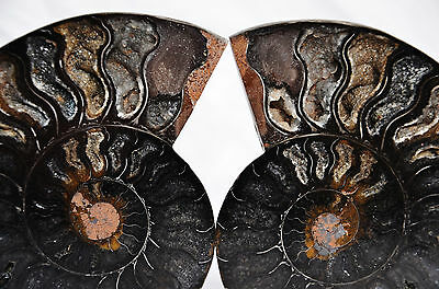 7770 RARE 1in100 BLACK Ammonite PAIR Deep Crystals 110myo FOSSIL LRG 114mm 4.5""