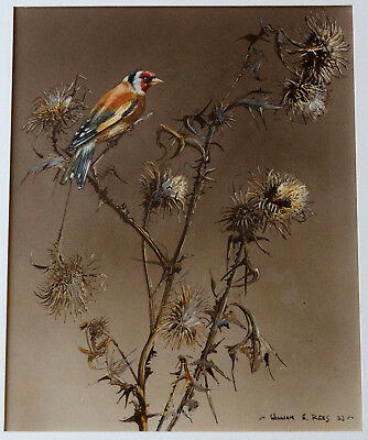 William E. Rees – Goldfinch – Bird birds ornithology ornithological watercolour