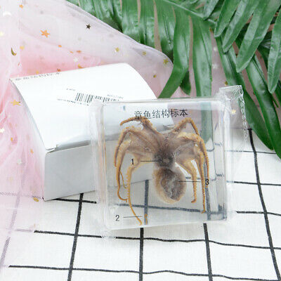 Octopus Taxidermy Specimen Collectio Nembedded In Clear Lucite Block Decoration