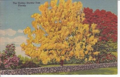 Vintage Postcard Old Collectible Golden Shower Trees Florida  #132