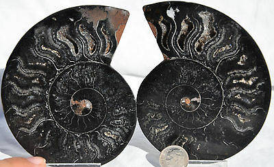 "RARE 1 in 100 BLACK PAIR Ammonite Crystal LARGE 104mm Dinosaur FOSSIL 4.1"" n2590"