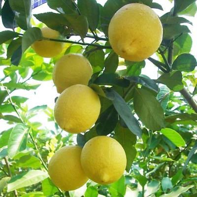 10pcs Heirloom Garden Lemon Seeds Tree Fruit  Plant Rare Organic Seed