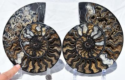 "Split PAIR Ammonite Deep Crystal Cavity 110myo Fossil 205mm XXXLARGE 8.1"" 2265xx"