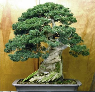 50Pcs Juniper Bonsai Seeds Tree Potted Flowers Office Purify Air Absorb Plant