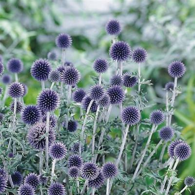 Bulb/Tuber/Root Thistle Echinops 'Veitchs Blue' Quality Summer Flower Perennial