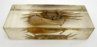 Fiddler Crab in Acrylic Paperweight Lucite Resin Real Nature Desk Display VTG
