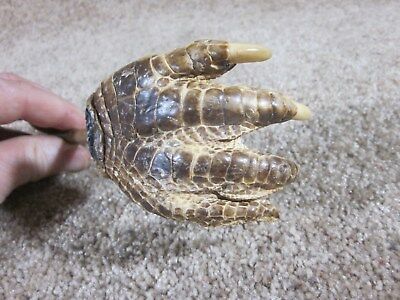 Large - Alligator Foot - Backscratcher - Well Formed