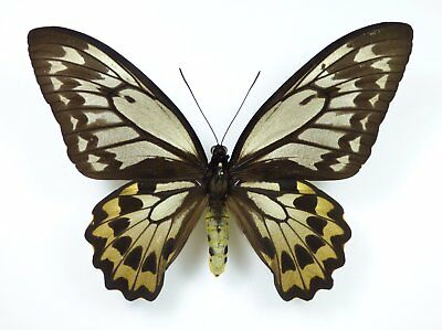 Ornithoptera croesus ssp. lydius Weibchen