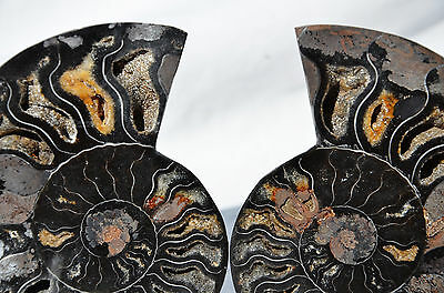 "RARE 1 in 100 BLACK PAIR Ammonite Crystal LARGE 104mm Dinosaur FOSSIL 4.1"" n2464"