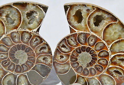 "Cut Split Pair RARE ANAPUZOSIA Ammonite D-shaped LARGE 92mm Fossil 3.5"" n8544"