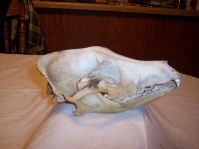 COYOTE SKULL W/ JAW AND TEETH !  (taxidermy,rack,antler,mount,horn,shed)  S6