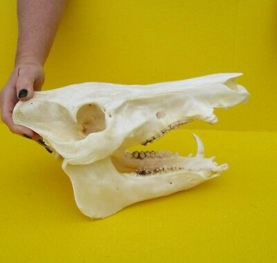 Real 13 inch North American Wild Boar Skull Pig Swine Taxidermy #36183
