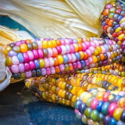 50Seeds Colorful Rare Rainbow GLASS GEM CORN Cherokee Indian Heirloom Unusial 01
