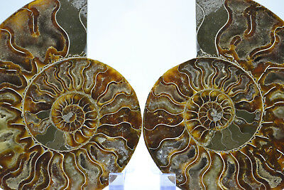 """Fossil Pair Ammonite Great Color Crystal Cavities 151mm XXLRG 6.0"""" 155mm e3018xx"""