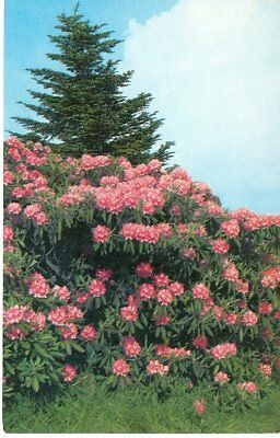 Vintage Postcard Purple Rhododendron In Full Bloom Appalachian Mountains