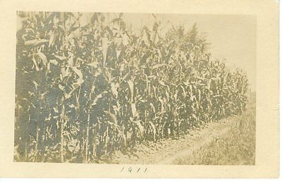 Vintage Postcard Real Photo Corn Field Dated 1911