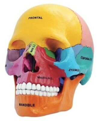 4D Puzzle Human Anatomy Didactic Exploded Skull Model Anatomical Models UK STOCK
