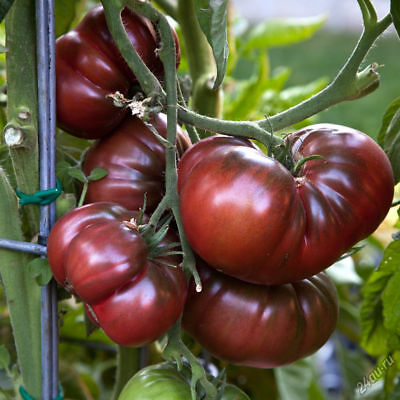100PCS Heirloom Giant Black Krim Tomato Hybrid Vegetable Seeds Home Gardening