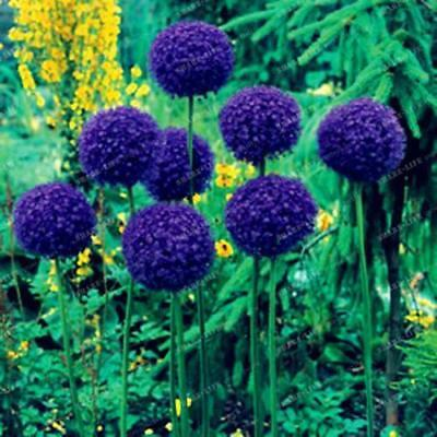 Allium Giant Blue Onion 100 Seeds Giganteum Perennial Flower Seed Garden Bloom