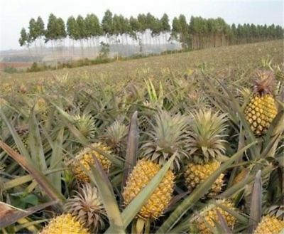 100pcs Seeds Sweet Pineapple Fruit Dwarf Trees Home Gardening Outdoors Planting