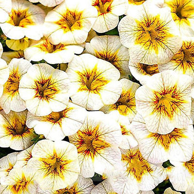 Rare Petunia Super bells Calibrachoa Annual Flower 100 Seeds Large Big Blooming