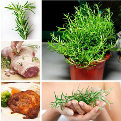 100 Rosemary Herb Seeds, Easy to Grow Mini Garden Home,Rare Chinese Herb Plants