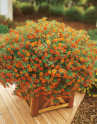 Petunia Seeds Candypops Orange Pelleted Petunia Seeds Candy Pops Orange 100PC