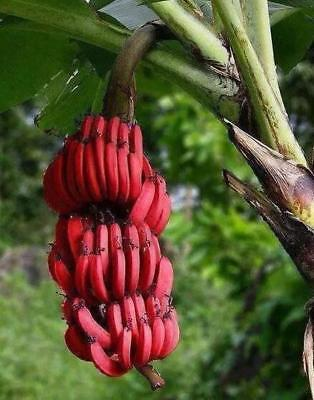 100PCs Banana Seeds Red Dwarf Tree Bonsai Fruit Decor Home Gardening Planting