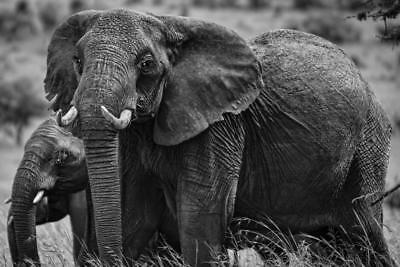 African Elephant Family Black and White Photo Art Print Poster 24x36 inch