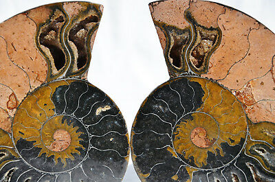 "RARE 1 in 100 BLACK PAIR Ammonite Crystal LARGE 104mm Dinosaur FOSSIL 4.1"" n1616"