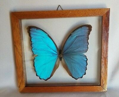 Blue Metallic Butterfly Taxidermy, Wood Framed Giant Morpho Didius