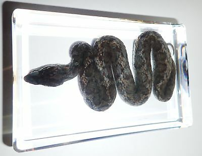 Venomous Fea's Viper Snake Azemiops feae in Clear Block Education Real Specimen