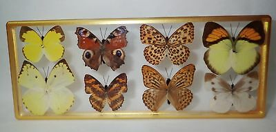 8 Butterfly Collection Set Clear Block Painted Golden Frame Education Specimen