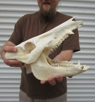Real 13 inch North American Wild Boar Skull Pig Swine Taxidermy #36176