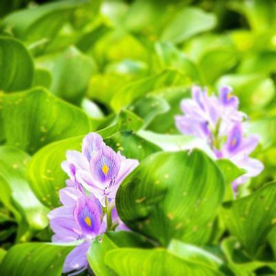 100 Seeds Water Hyacinths Floating Water Garden Plants Decor