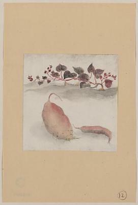 Sweet potato or yam with plant growing in the background,Agriculture,c1830,Japan
