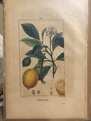 Antique / Vintage  FRENCH 🍋LEMON BOTANTICAL PRINT - 10 x 6 - perfect for frame