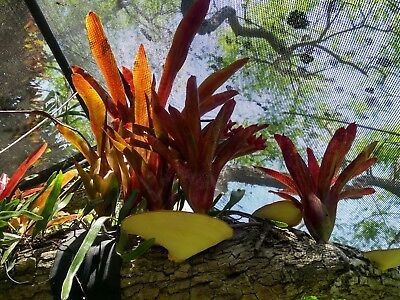 3 x Bromeliads Aechmea fosters favourite 'red ribbon' pup