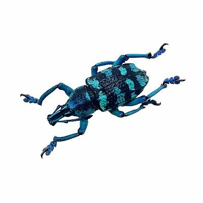 Blue Banded Weevil Beetle (Eupholus linnei) Insect Collector Specimen
