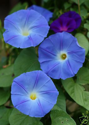 25 graines IPOMEE BLEUE HEAVENLY BLUE(Ipomoea Tricolor)G434 MORNING GLORY SEEDS
